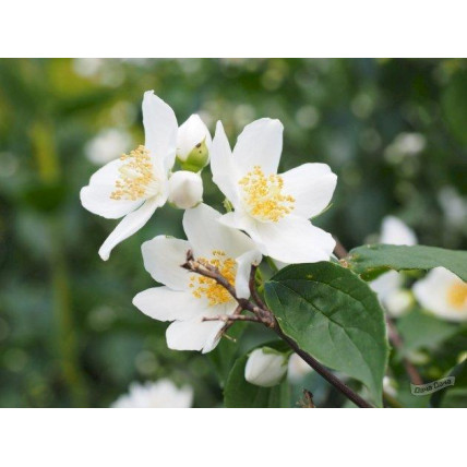 Жасмин садовый Венечный (Чубушник) С2
