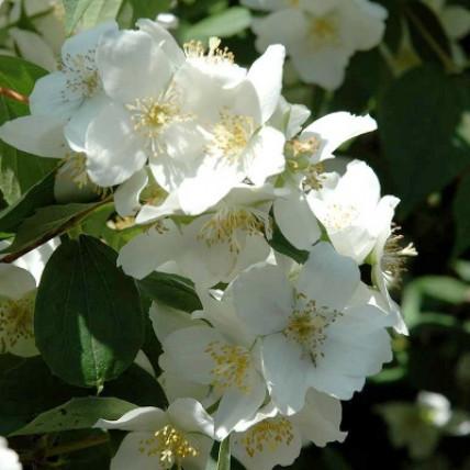 Жасмин садовый Дам Бланш (Чубушник) С2