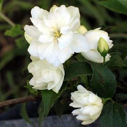 Жасмин садовый Миннесота Сноуфлэйк (Чубушник) С2