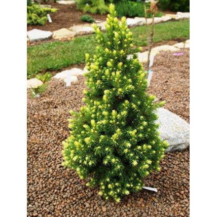 Ель канадская Рэйнбоуз Энд (Picea glauca Rainbow's Еnd) С3