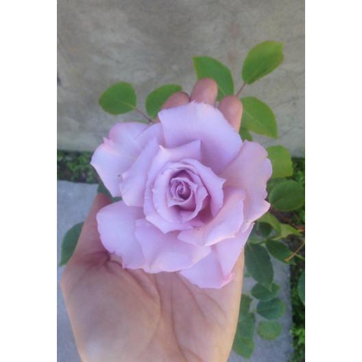 Роза чайно-гибридная Blue Moon (Блю Мун) С3,5