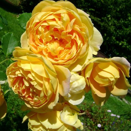 Роза английская парковая Golden Celebration (Голден Селебрейшен) С3,5