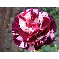 Роза чайно-гибридная Imagine (Имэджин) С3,5