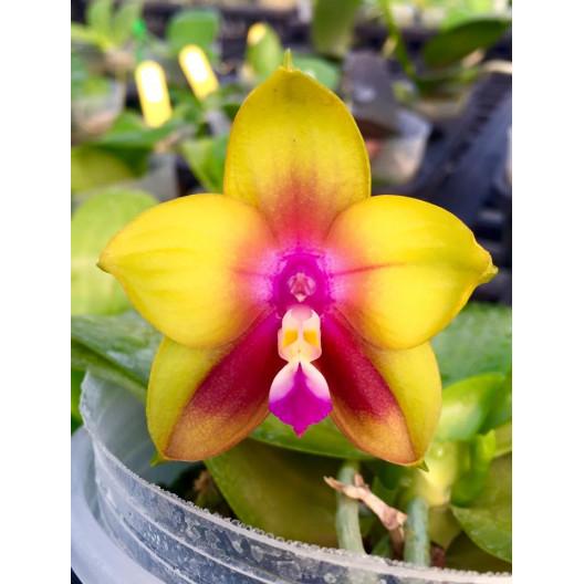 Phalaenopsis KS Happy Eagle 'Super'