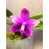 Phal. Yaphon Family x Phal. LD Double Dragon '915-1'