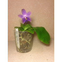 Фаленопсис violacea