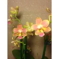 Фаленопсис восковая мультифлора очень ароматная