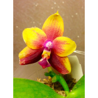 Phal. (Yaphon Sir x Hannover Passion) x LD Double Dragon растение № 1