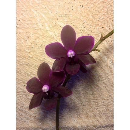 Phalaenopsis Black Bird