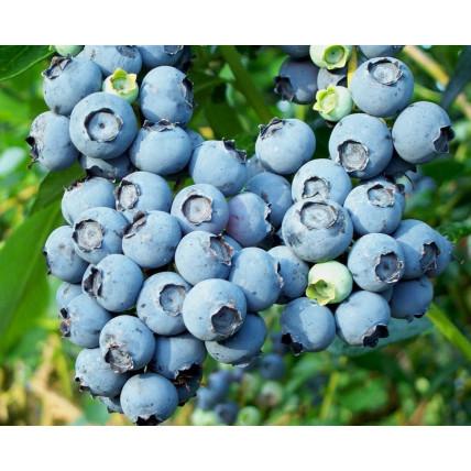 Голубика Bluecrop (Блюкроп) С2