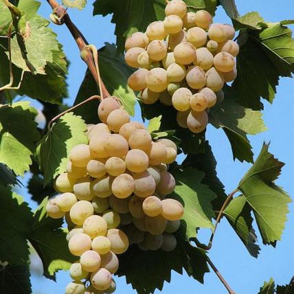 Виноград Бианка С3