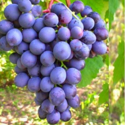 Виноград Агат донской С3