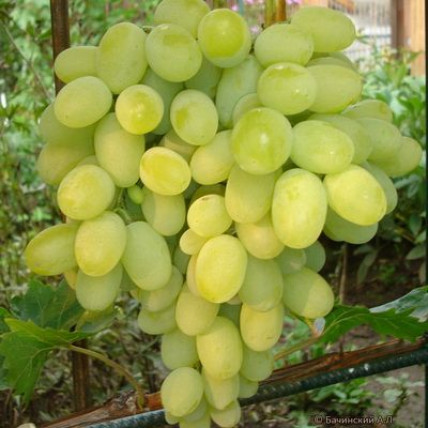 Виноград Августин С3
