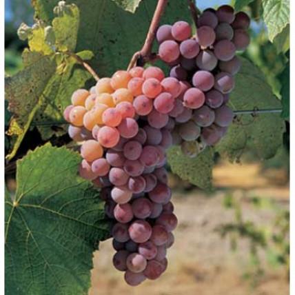Виноград Канадис С3