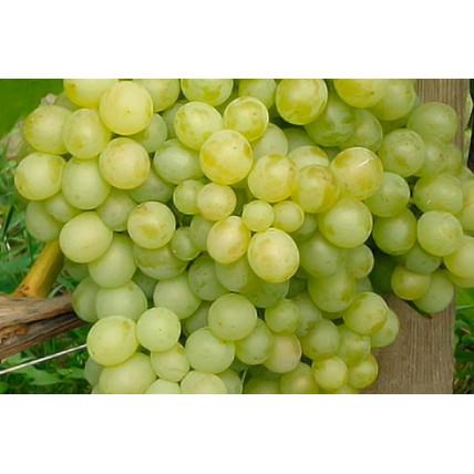 Виноград Восторг С3