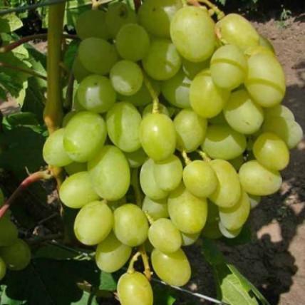 Виноград Аркадия (Настя) С3