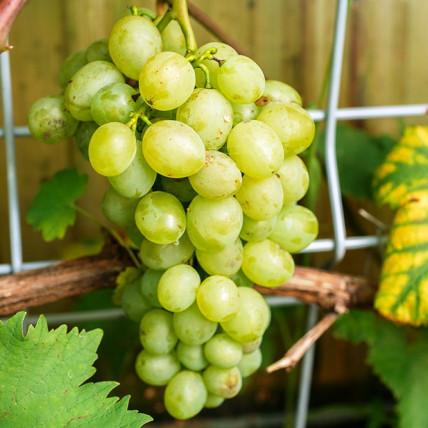 Виноград Белое Чудо С3
